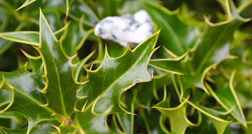 Japanese Holly photo