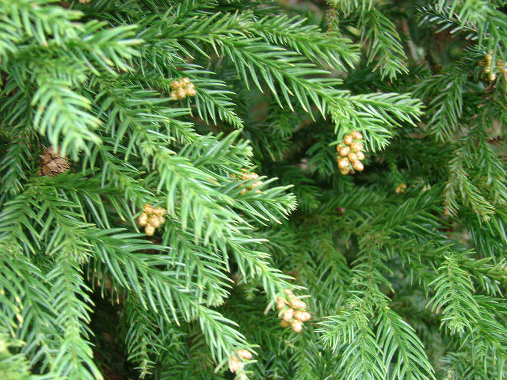 Cryptomeria Trees photo