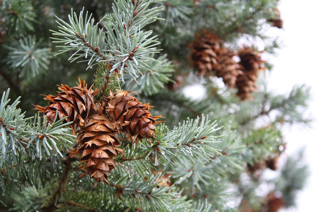Colorado Spruce photo
