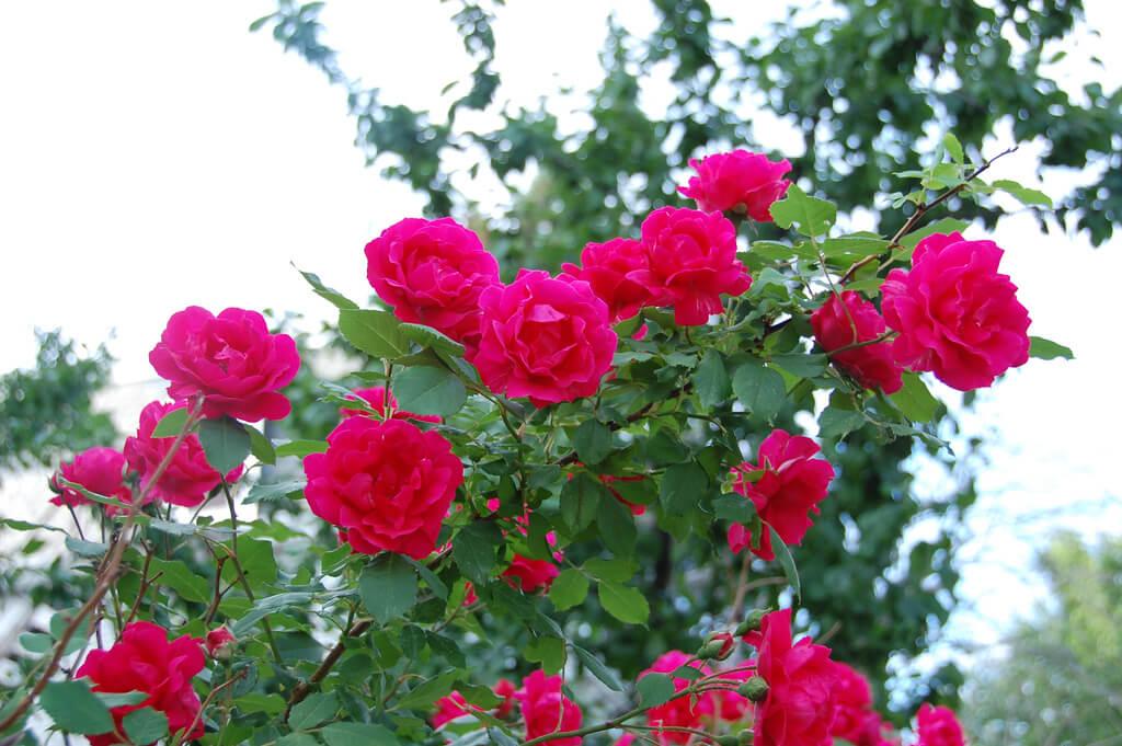 climbing roses photo