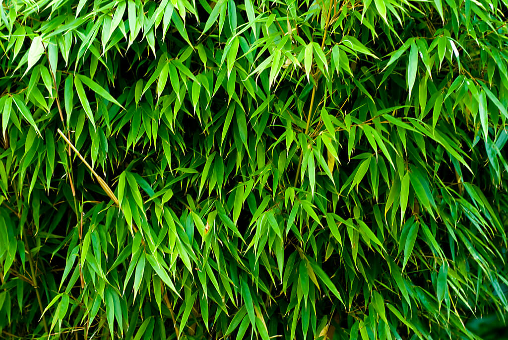 10 great plants for garden screening dreamley for Fast growing climbing plants for screening