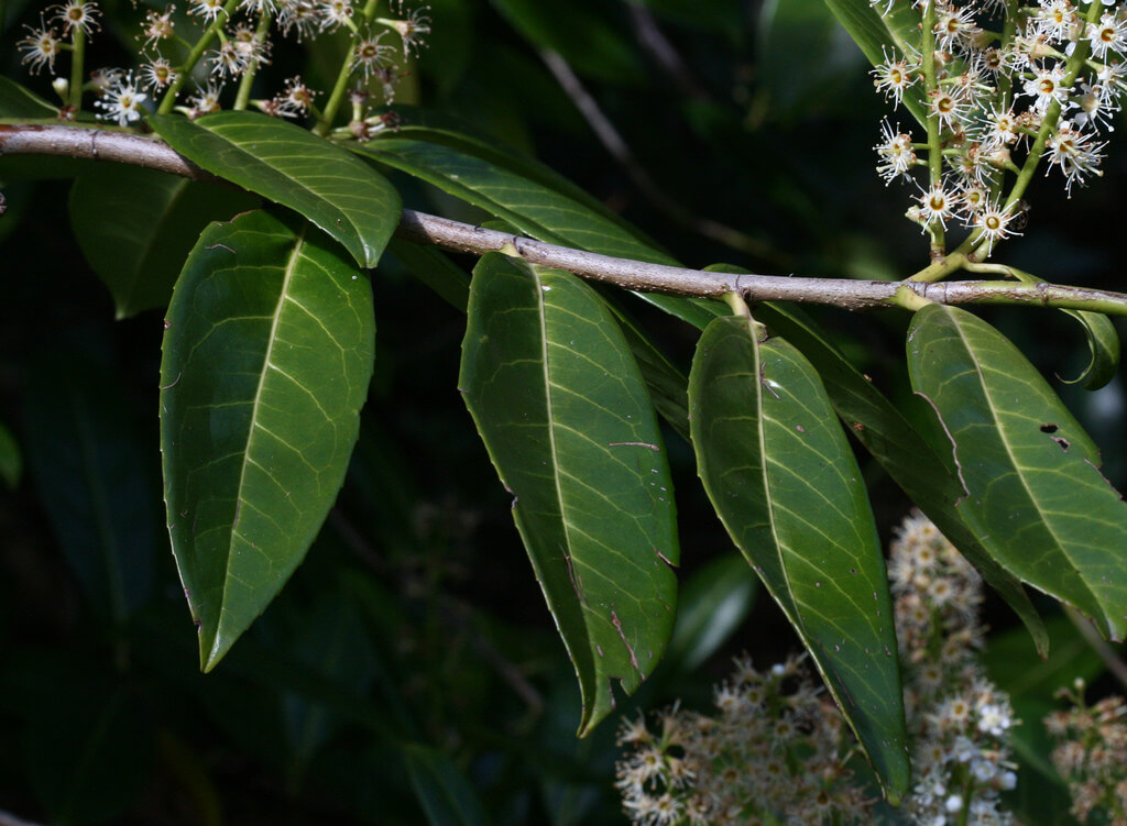 cherry Laurel photo