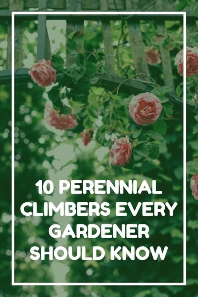 Looking for some beautiful climbers to grow in your garden? This extensive list - with photographs - outlines some of the very best perennial options for growing over pergolas, up walls and across fences.