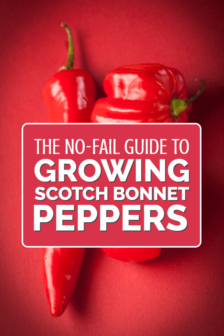 If you like hot peppers and chillies then you must learn how to grow scotch bonnet peppers. Expensive and super-hot, these are a crop for the serious gardener who likes their food spicy!