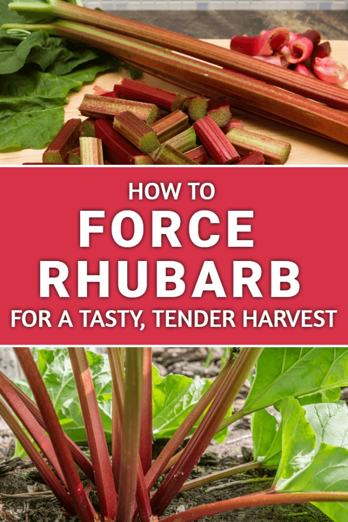 Learning how to force rhubarb is a skill that every vegetable gardener should possess. Find out how (and why) you should be doing it this year!