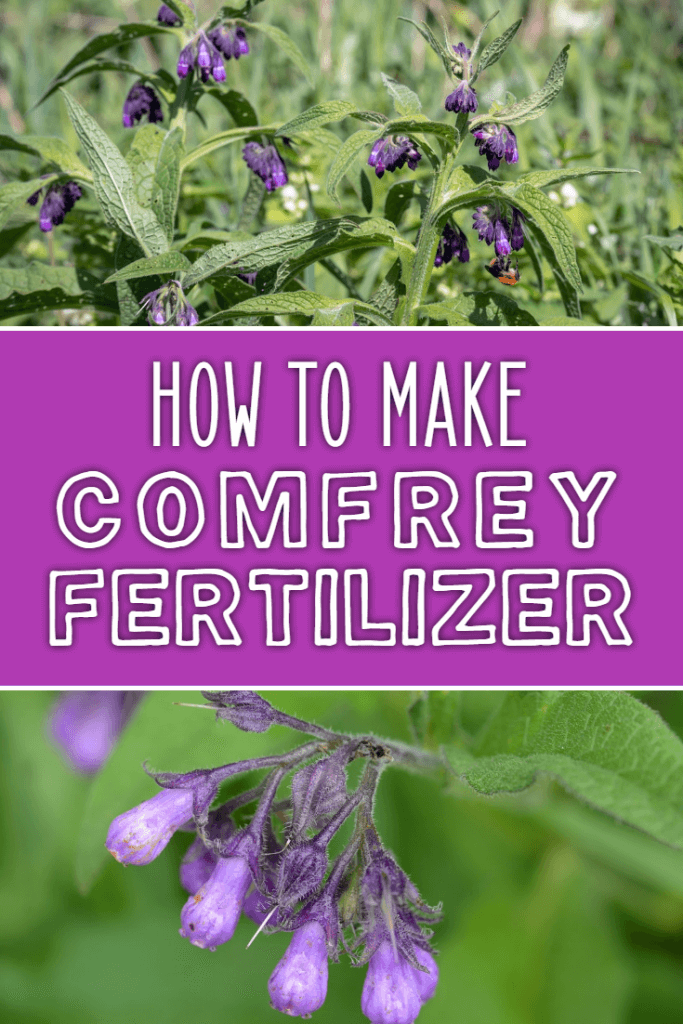How to make comfrey fertilizer. This simple, effective recipe will help you to fertilize your garden on a budget and in a natural and organic way. Great for growing vegetables too!