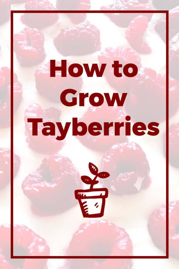Growing tayberries is a lot easier - and more enjoyable - than you might think when you follow these simple rules. This article discusses exactly what a tayberry is, how to grow tayberries, how to harvest the fruit and car for the plants over winter. Perfect for gardeners who are passionate about growing their own fruit and vegetables.