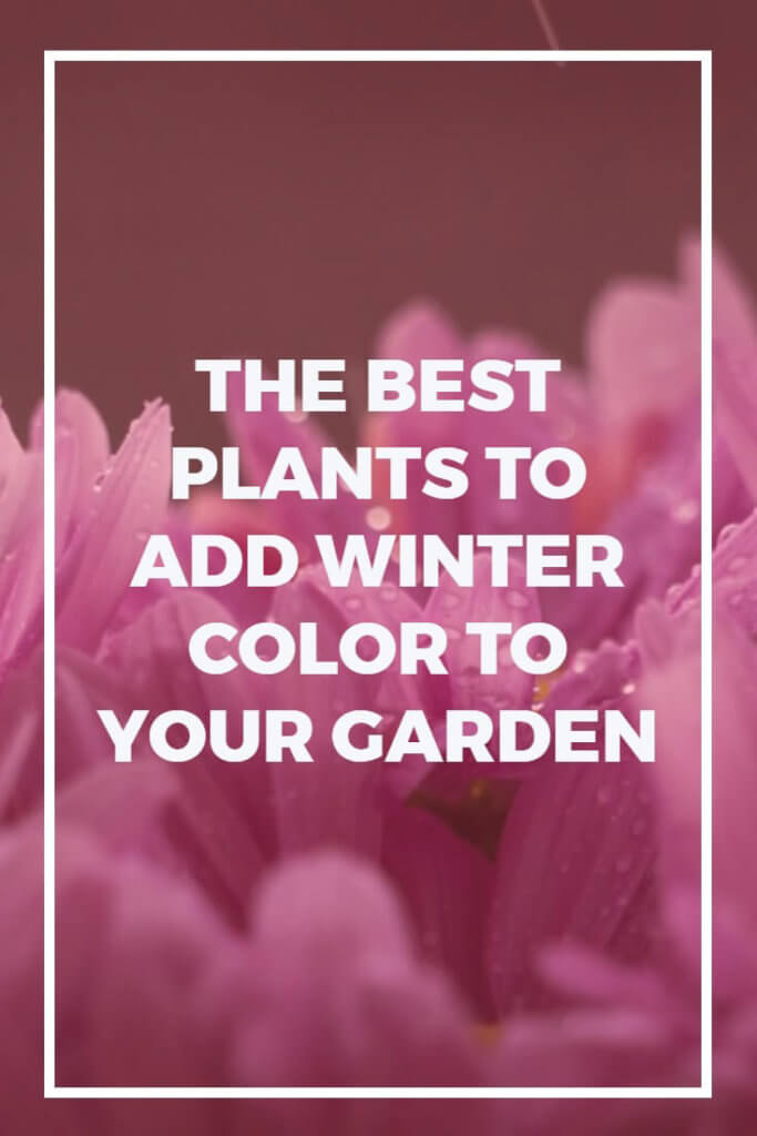 Fed up with winter, and want to add a little excitement? These plants provide incredible color right throughout the colder months.