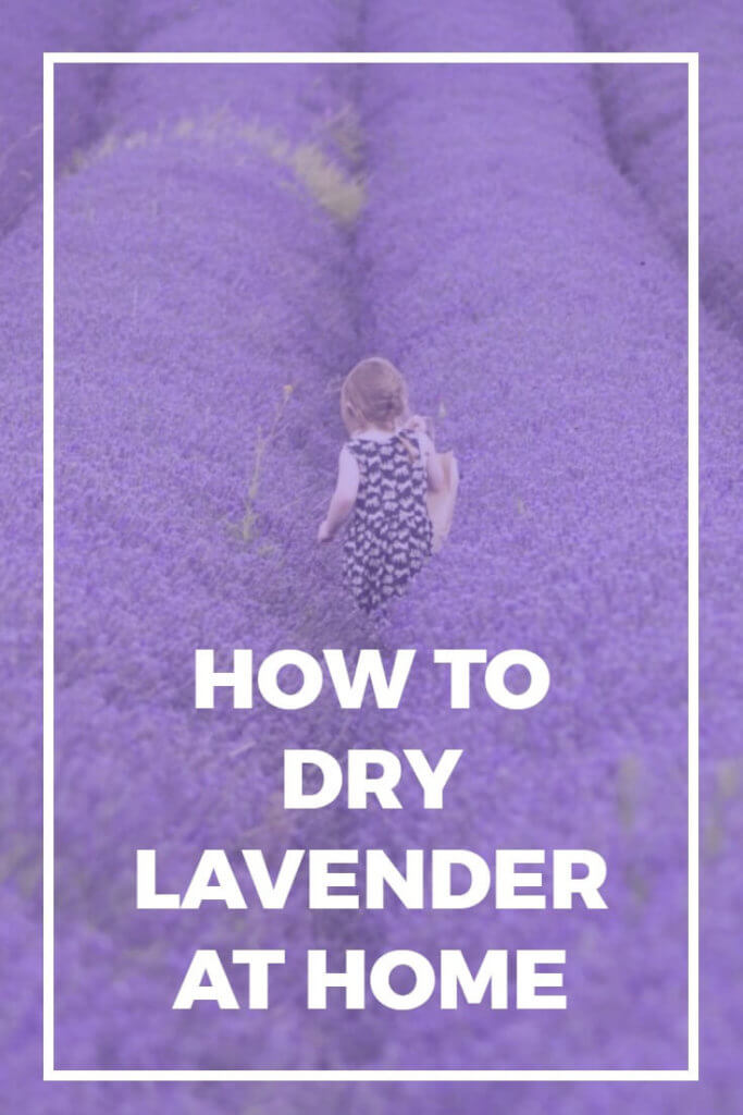 This tutorial discusses how to dry lavender the easy way, so that you can enjoy the rich scent of lavender for months to come. No special equipment or tools are required.