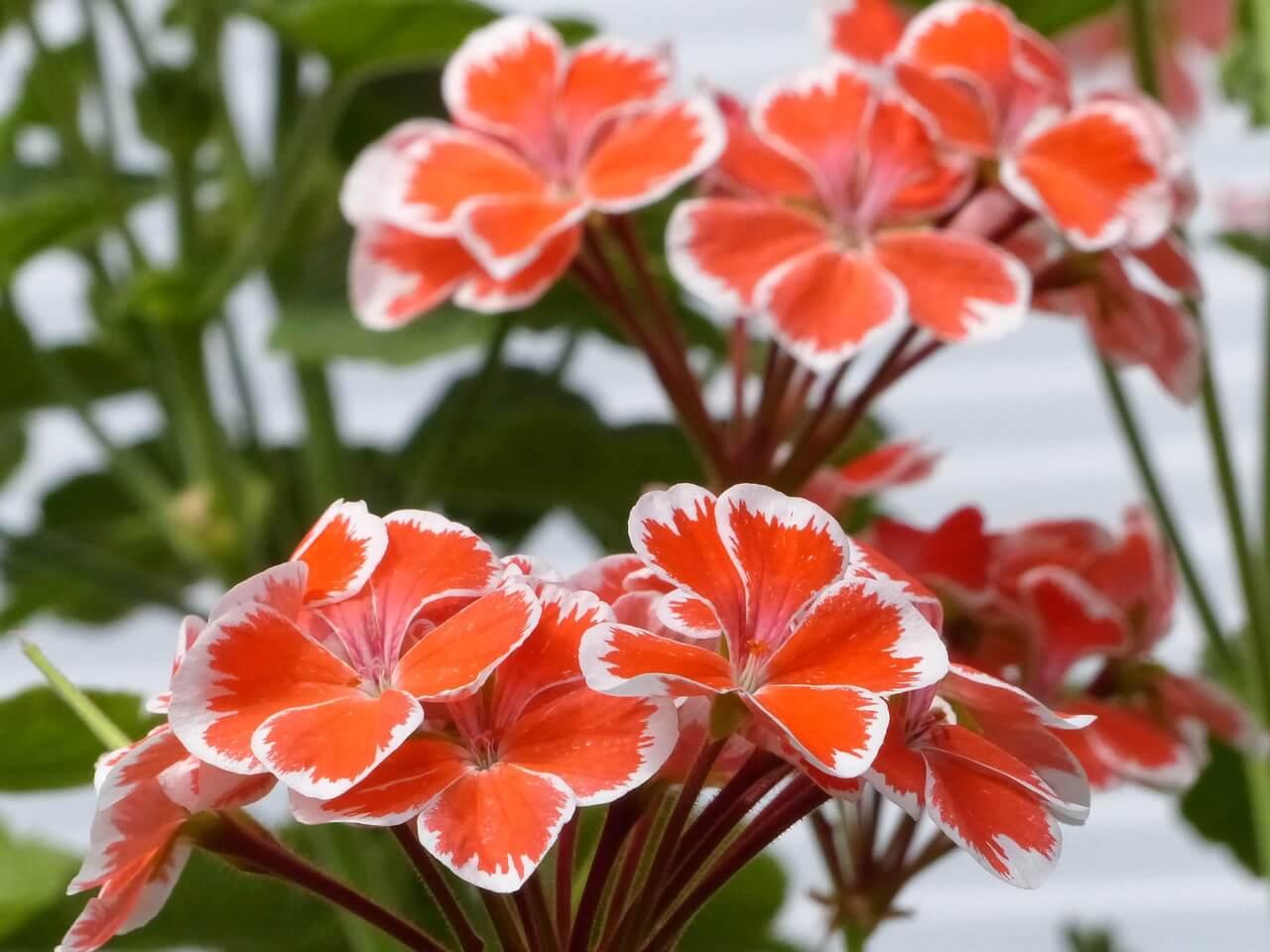 Geraniums photo