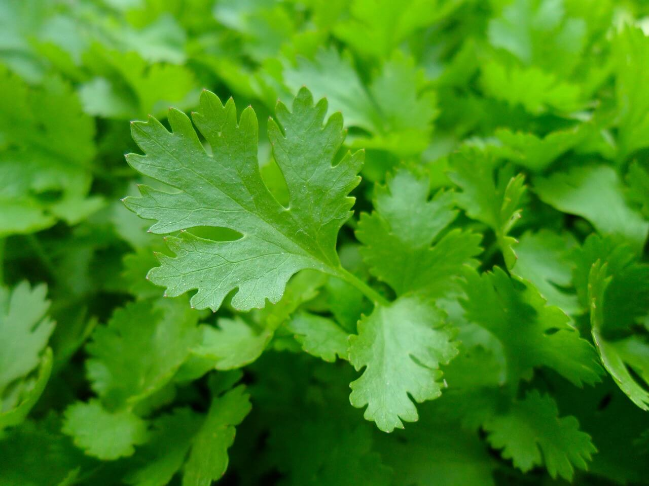 parsley photo