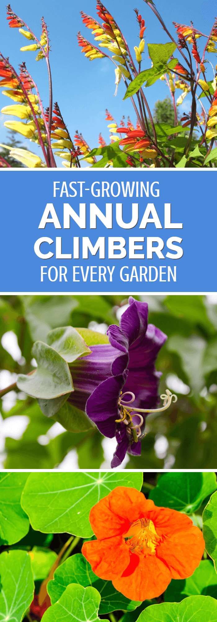 Add height and interest to your garden with this great range of annual climbers. Even started late in the season, many will explode with growth, providing privacy,. cover and a profusion of flowers. All gardeners should consider growing at least a few of these fast growing garden flowers.