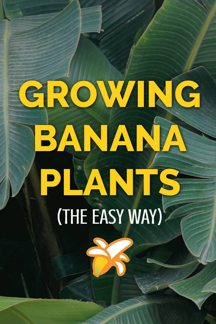 The complete guide to growing banana plants at home. Whether you grow them indoors in a glasshouse, or put them out in your garden during warmer weather banana plants are ideal for providing a tropical feel in your garden.