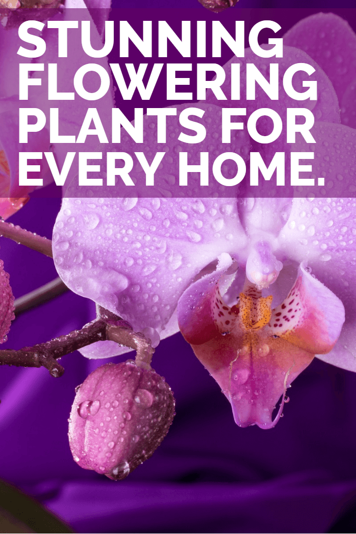 Looking for a break from just foliage house plants? The houseplants discussed in this article will all produce copious amounts of flowers in your home; which not only look great but often smell fantastic too.