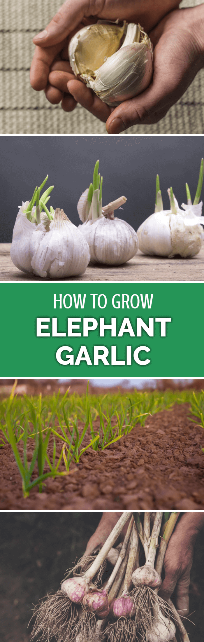 Learn how to grow elephant garlic - possibly one of the most exciting yet reliable vegetable crops for gardeners and homesteaders.