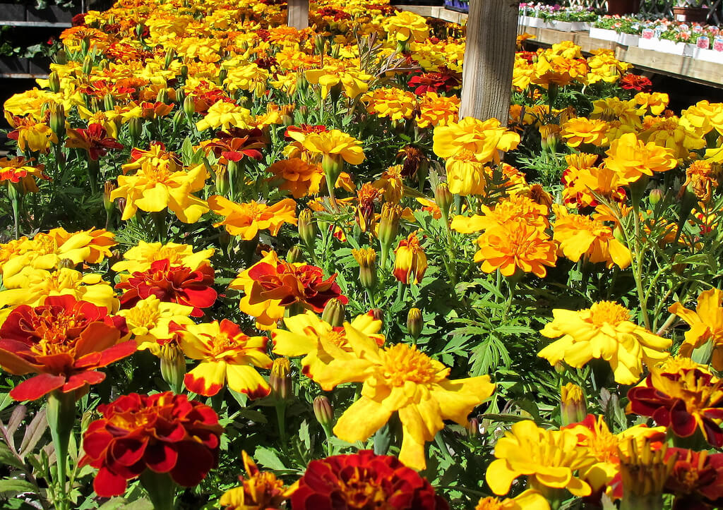 french marigold photo