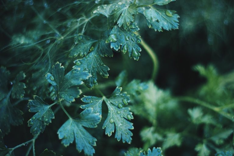 What Are Lovage Seeds - An Overview