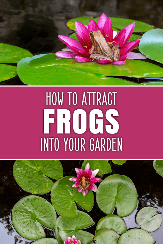 How to attract frogs into your garden. Frogs are amazing creatures that serve as organic pest control, but they're not always easy to draw in. Discover some simple changes you can make to your garden to make it more wildlife friendly.