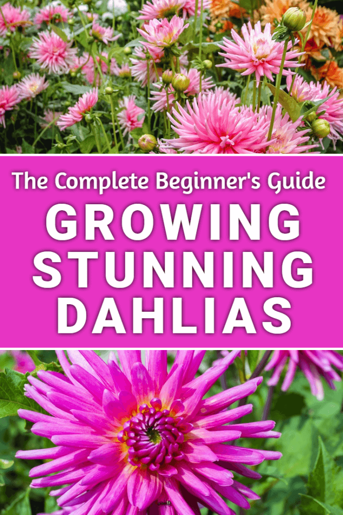 Wondering how to grow dahlias in your garden? If so this guide to growing dahlias will show you how to get the best display with the minimum of effort. Well worth a read!