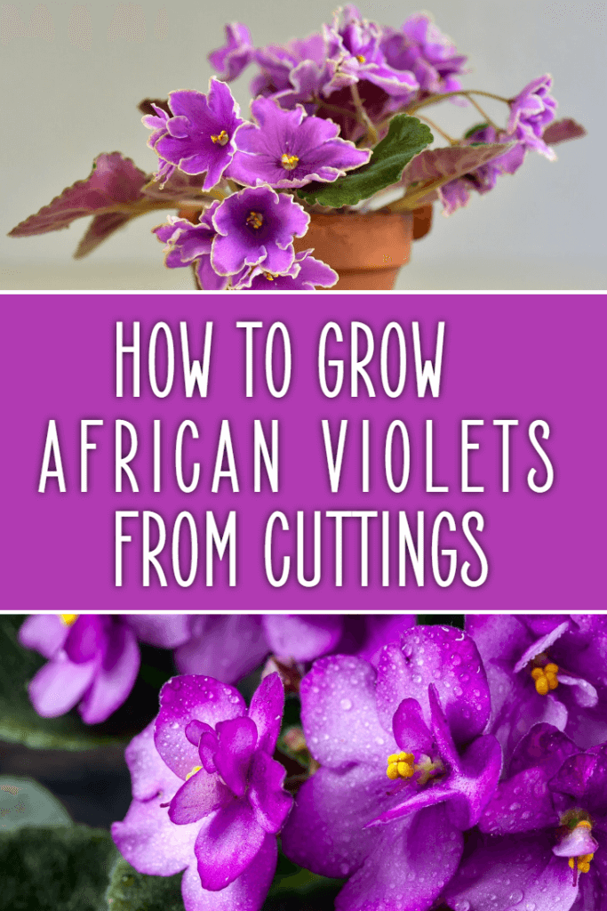 How to grow African violets from cuttings. Growing African violets is easy when you figure out this simple way to propogate these beautiful flowering house plants.