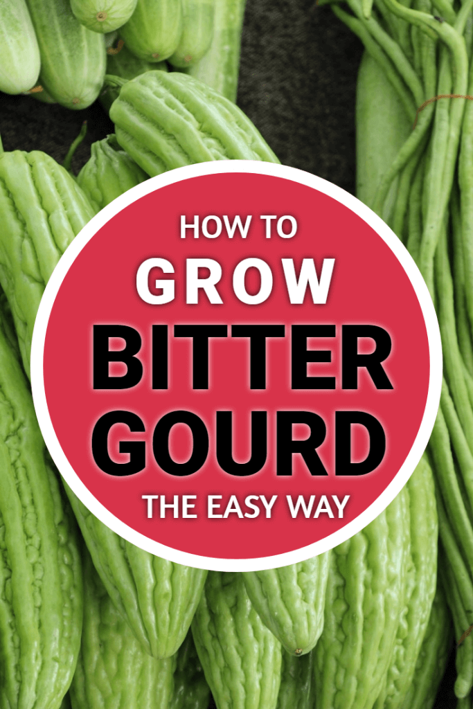 How to grow bitter gourd. They might look a bit odd - and to some people taste a bit strange - but if you want to grow something different on your vegetable plot then this is one plant to try.