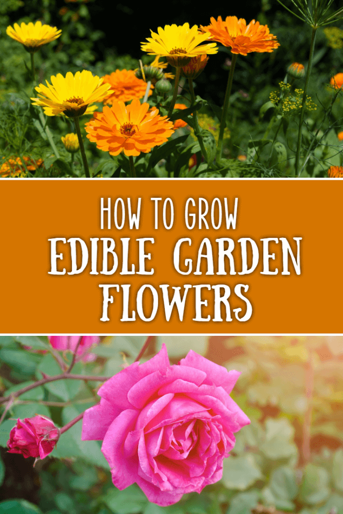 How to grow edible flowers in your garden that both look beautiful but can also be added to salads and other recipes in the kitchen.