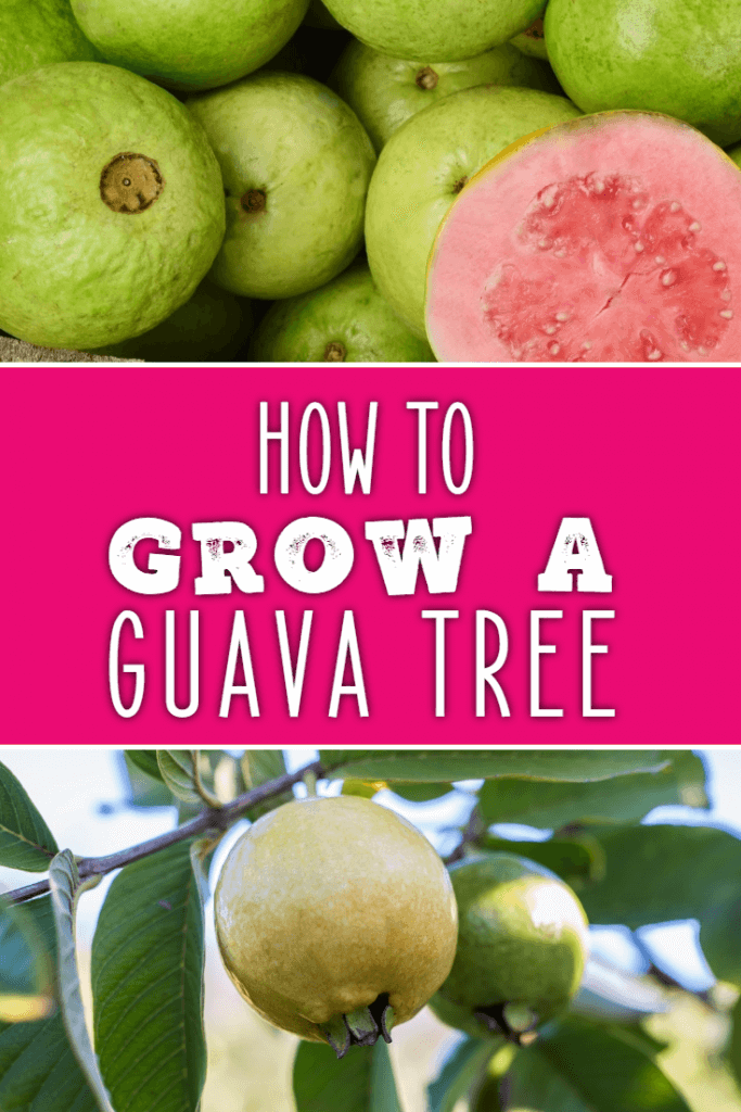 How To Grow A Guava Tree Dreamley