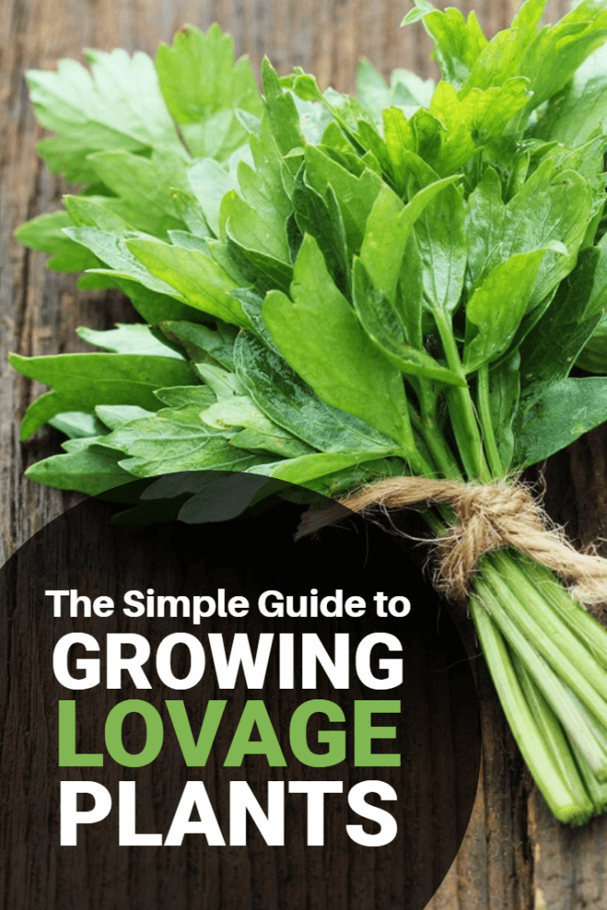 See This Report on How To Germinate Lovage Seeds