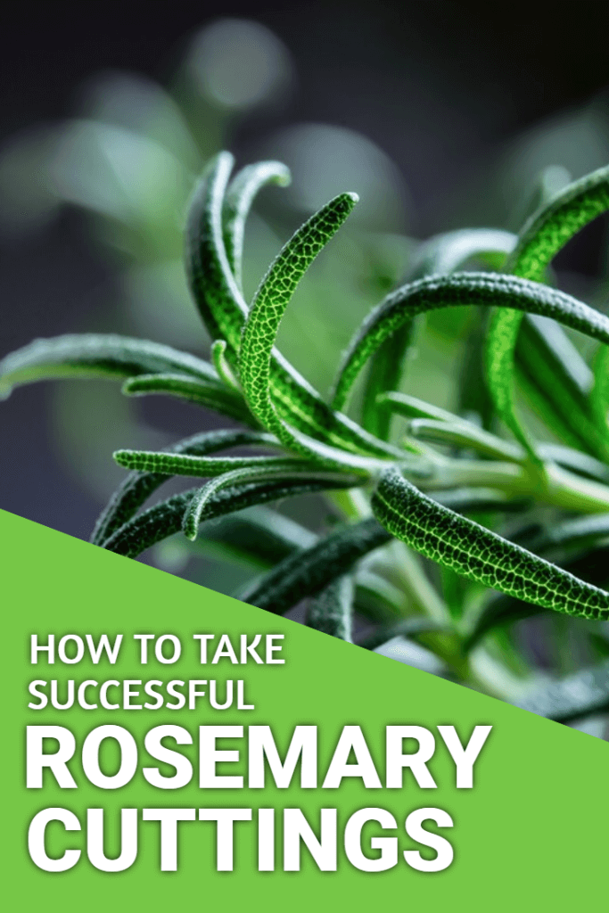 How to grow rosemary from cuttings. Find out how easy it is to grow your herb collection by propagating rosemary from simple cuttings.
