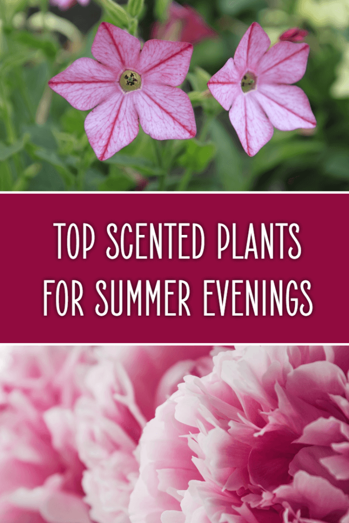 Top scented plants for summer evenings. Make your garden a haven this year by planting flowers that perfume the air. Perfect for patios, balconies and more and many can be grown in pots easily.