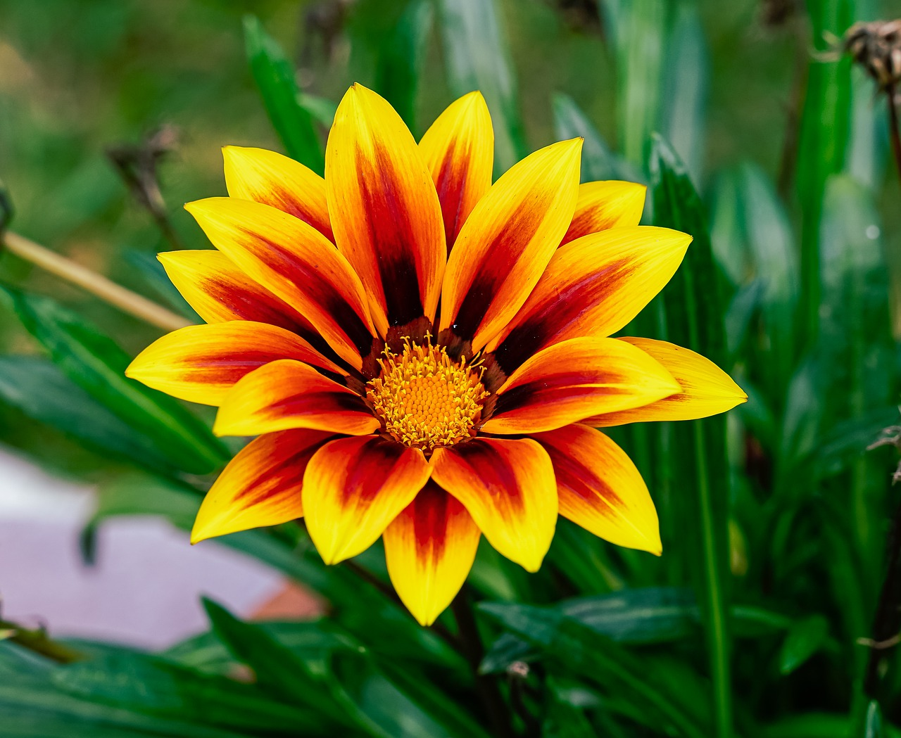 Flower Petals Gazania Plant Leaves  - mirceaadrian72 / Pixabay